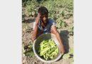 দেওয়ানগঞ্জে বেগুনের কেজি ২ টাকা, চাষীর মাথায় হাত